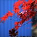 red japanese maple leaves against our blue house
