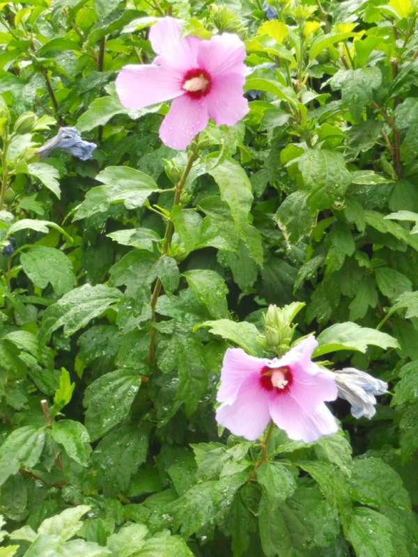 Hibiscus syriacus 'Coelestis' v 4