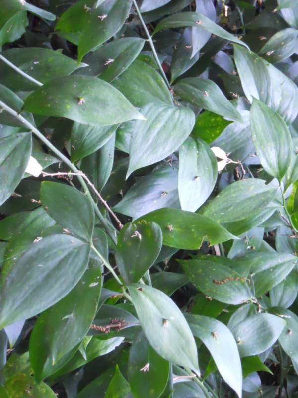 Ruscus hypophyllum v 1