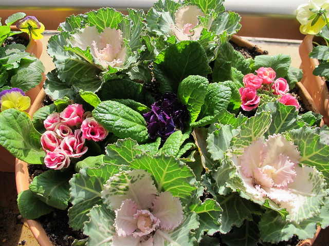 Ornamental cabbages and Primula juliana at my balcony