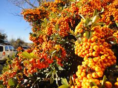 shrub(0.0), flower(0.0), produce(0.0), food(0.0), rowan(0.0), autumn(0.0), evergreen(1.0), plant(1.0), hippophae(1.0), flora(1.0), fruit(1.0),