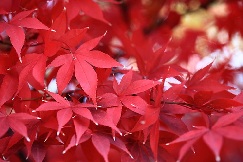 Tinted Autumnal Leaves / 紅葉(もみじ)