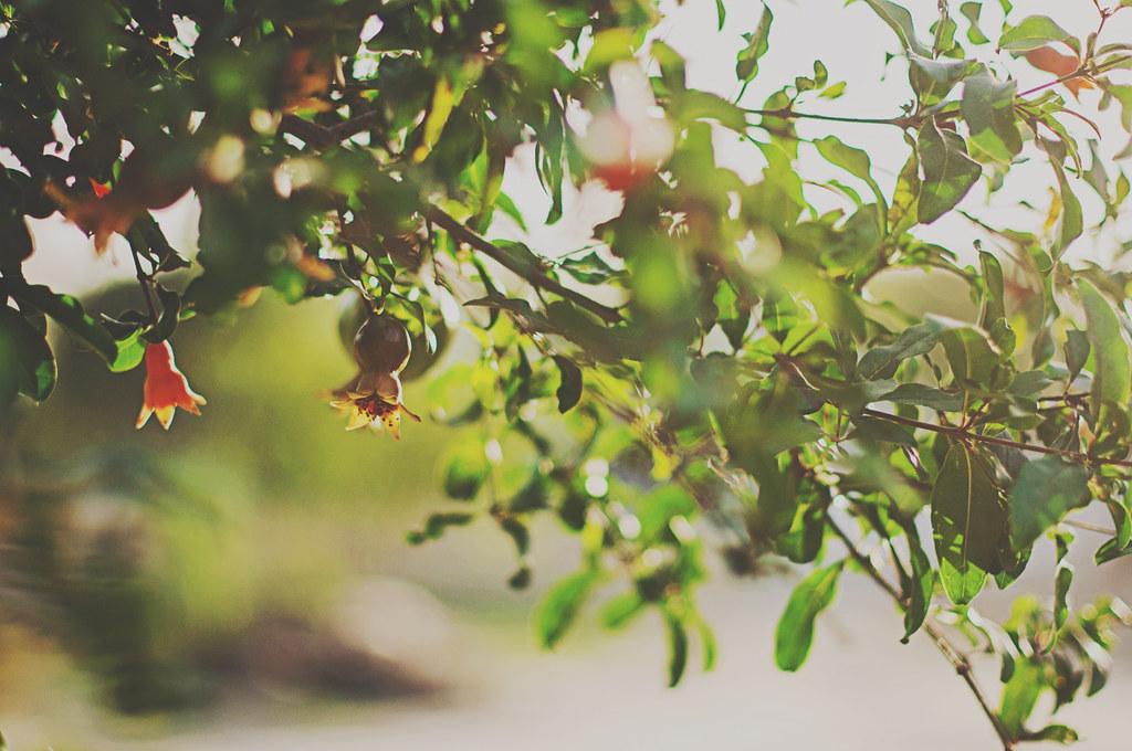 Day 99/365 - Pomegranate tree