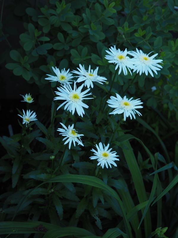 Leucanthemum vivaces de courte durée? 35735421455_23671ca6a5_o