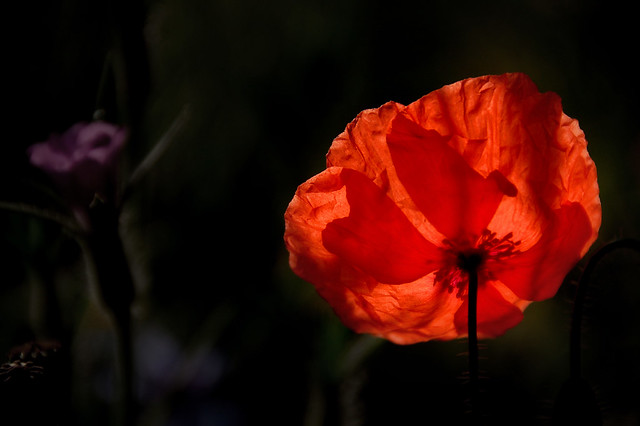 backlit poppy