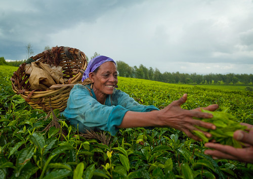Woman picking up tea in Wushi Wushi plantations, Ethiopia