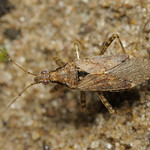 csalán-tolvajpoloska - Himacerus mirmicoides