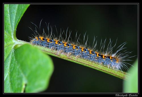 Lasiocampa quercus (Bombyx du chêne)