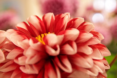 asterales, dahlia, flower, red, plant, gerbera, macro photography, close-up, pink, petal,