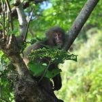 Comfortable Monkey - Yakushima