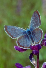 Fender's Blue Butterfly an Endangered Species