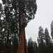 General Sherman Tree Sequoia 15mm