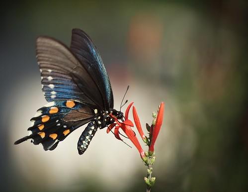 butterfly © raleighnc jcraulstonarboretum garyburke pipevineswallowtailbattusphilenor zuiko70300mm olympuse620