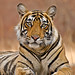 tiger_andyrouse_IND02211b_00059 by wildmanrouse