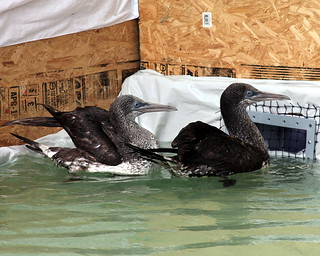 Oil spill Mobile – Briefings & Oiled Bird cleaning 071 immature northern gannets in rehab