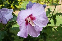 blossom(0.0), malva(0.0), annual plant(1.0), flower(1.0), plant(1.0), malvales(1.0), macro photography(1.0), wildflower(1.0), flora(1.0), chinese hibiscus(1.0), petal(1.0),