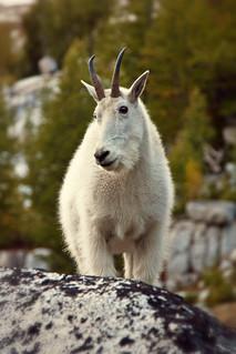 Purdy goat