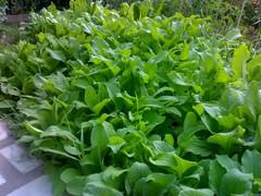 annual plant, komatsuna, plant, herb,