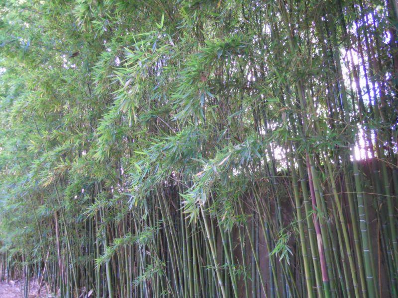 Jardineros en acci n cuidados b sicos del bamb - Bambu planta exterior ...