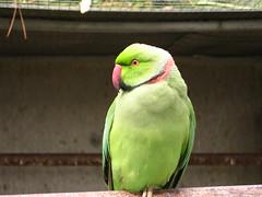 animal, lovebird, parrot, yellow, pet, green, fauna, parakeet, beak, bird,