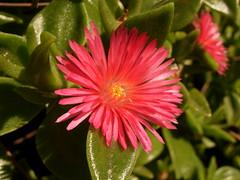 annual plant, pigface, flower, plant, macro photography, flora, petal,