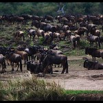 Wildebeast Migration