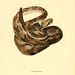 010-Crotalus durissus-North American herpetology…1842-Joh Edwards Holbrook