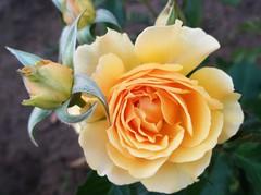 Rose 2010.