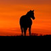 IMG_ Horse at Sunset 2 0073