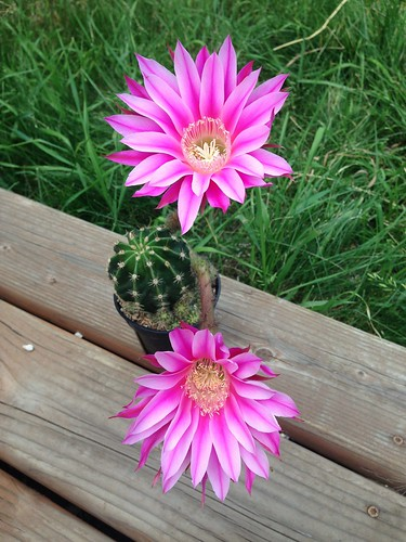 Echinopsis 'Rainbow Bursts' #1
