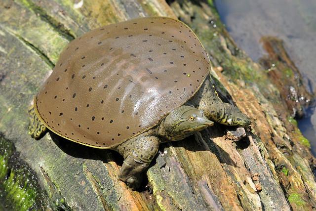 Soft shell turtle neck - photo#45