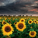 Sunflowers of the Storm by mibreit