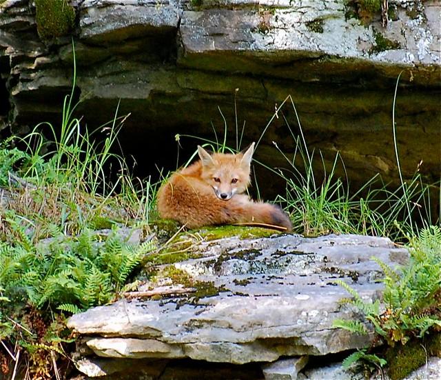 Fox @ den