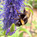 QUEEN Early Bumblebee -  (Bombus pratorum)