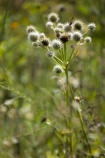 Unidentified Spikey weed