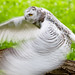 Blurred snowy owl