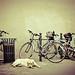 Le chien / The dog ©GnondPomme