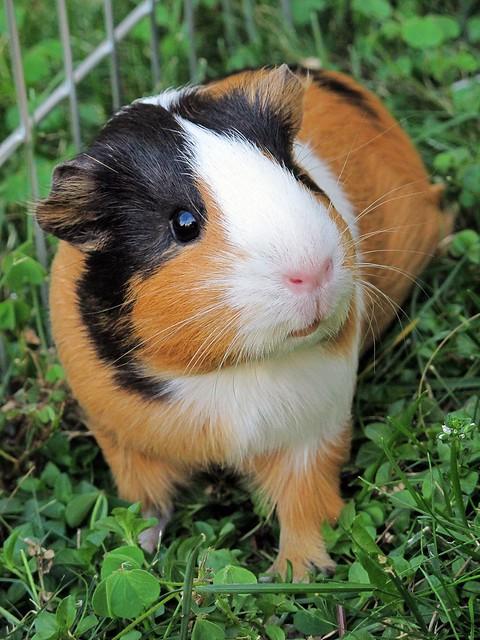 Guinea pig Lisa