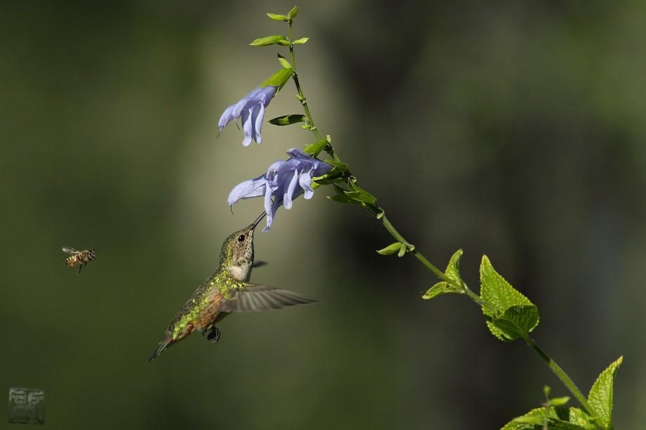 Allen's Hummingbird 09101