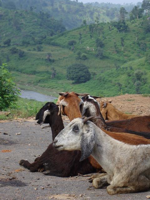 Rajasthan goats