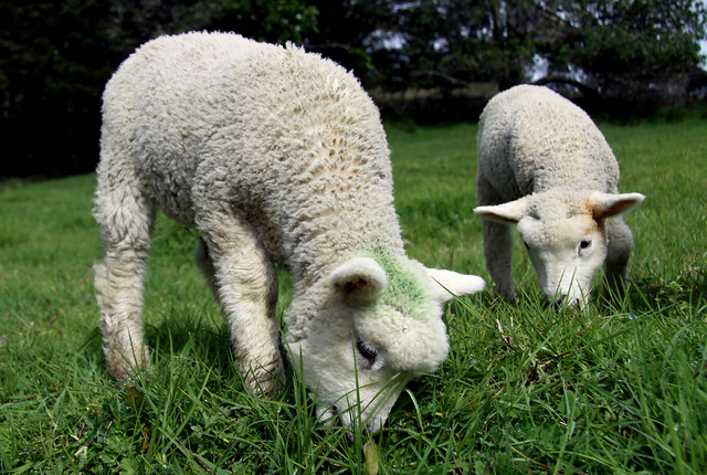 Two Spring Lambs