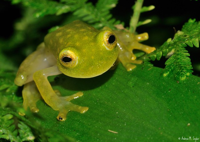 Rana de cristal ( Hyalinobatrachium fleischmanni ) - Honduras