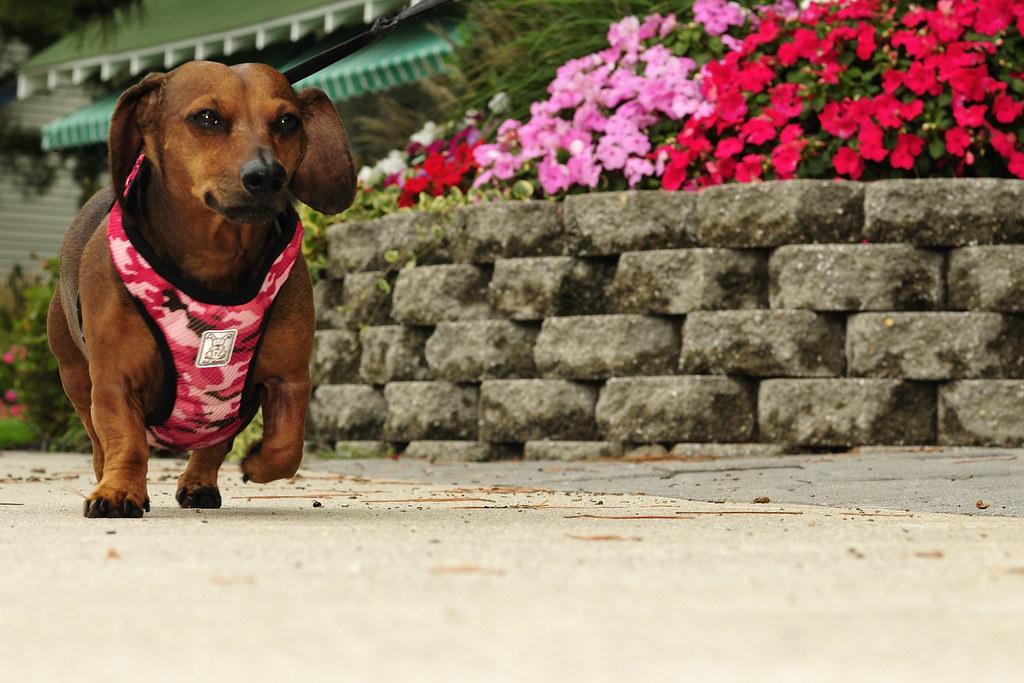Image Result For Wiener Dog Wearing