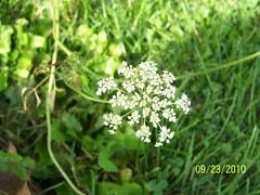 apiales(0.0), yarrow(0.0), vegetable(0.0), produce(0.0), flower(1.0), grass(1.0), cow parsley(1.0), plant(1.0), herb(1.0), anthriscus(1.0), wildflower(1.0), flora(1.0), green(1.0), angelica(1.0),