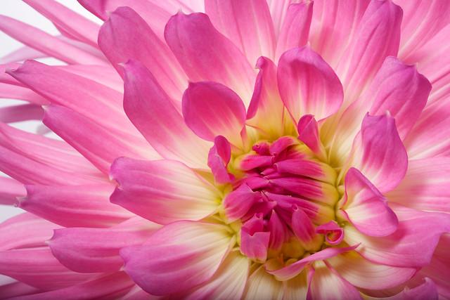 pink dahlia closeup