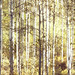 september birches by provincijalka