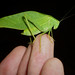 Anglewing Katydids - Photo (c) randomtruth, some rights reserved (CC BY-NC-SA)