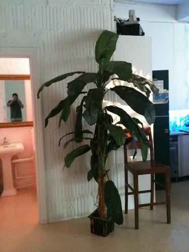 Tree rental. bananna Tree rental