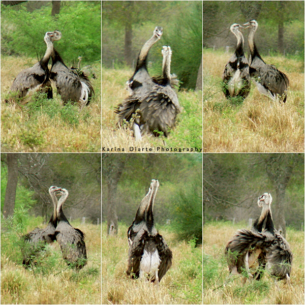 Ñandu / Greater Rhea       Fight for Territory