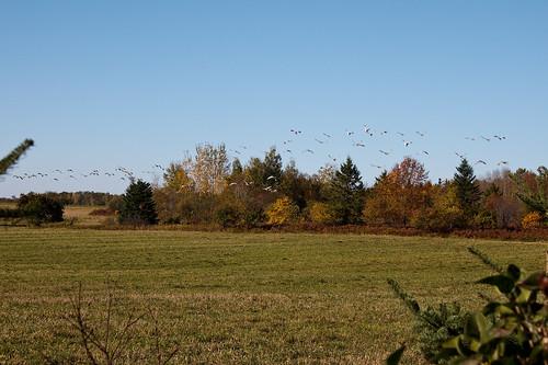 cranes sandhill